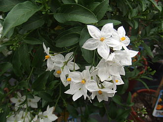 Solanum - Jasmine nightshade (S. laxum) flowers