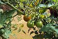 Solanum lycopersicum cerasiforme 03.jpg