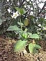 Solanum villosum subsp. alatum sl50.jpg