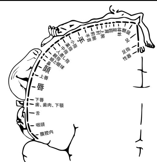Somatosensory cortex ja