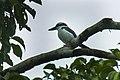 Sombre Kingfisher - Halmahera S4E3923 (16131757159).jpg