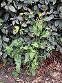 Sonchus oleraceus 109753901.jpg