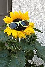 Sonnenblume mit Sonnenbrille (2019-07-23 Sp).JPG