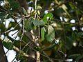 Sonneratia alba (6781978382).jpg