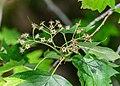 Sorbus torminalis in Aveyron (6).jpg