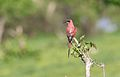 Southern carmine bee-eater, Merops nubicoides, Chobe National Park, Botswana (31649318983).jpg