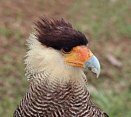 Southern crested caracara (Caracara plancus) head adult