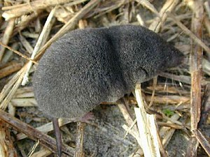Shrew - A southern short-tailed shrew