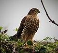 Sparrowhawk Accipiter nisus (38008003851).jpg
