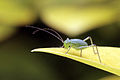 Speckled bush-cricket (Leptophyes punctatissima) nymph 2.jpg
