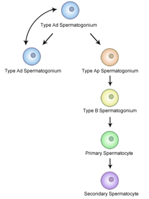 Spermatogenesis - Schematic diagram of Spermatocytogenesis