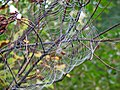 Spider web (Newark, Ohio, USA) 4 (30731891393).jpg