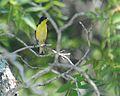 Spinus psaltria psaltria, Balcones Canyonlands NWR, TX 1.jpg