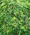 Spondias mombin (Anacardiaceae).jpg