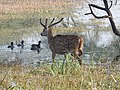 Spotted Deer Axis axis by Dr. Raju Kasambe DSCN2082 (7).jpg