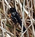 Spotted Towhee- San Joaquin Wildlife Sanctuary (4415115513).jpg