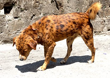 English: A spotted dog from Kalimpong, West Be...