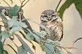 Spotted owlet (Athene brama) 01.jpg