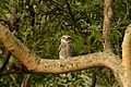 Spotted owlet (Athene brama)from coimbatore JEG2119.jpg