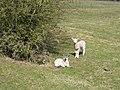 Spring Lambs near Priors Hardwick - geograph.org.uk - 148425.jpg