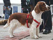 """A red and white dog in a scarlet hardness. It stands in profile, facing right."""