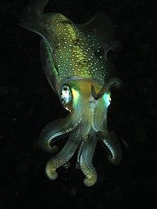 Tiarmet blæksprutte af arten Sepioteuthis lessoniana