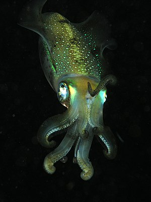 Malacology - Malacology, is the study of Mollusca, such as this Bigfin reef squid.