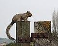 Squirrel at Ardenwood Farm.jpg