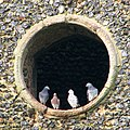 St Andrew's church - pigeons perched in the sound hole - geograph.org.uk - 1701485.jpg