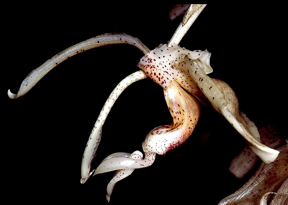 Stanhopea florida Orchi 001