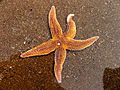 Starfish, Caswell Bay - geograph.org.uk - 409413.jpg