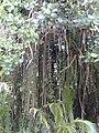 Starr-011205-0022-Clusia rosea-aerial roots-Hilo-Hawaii (24176022779).jpg