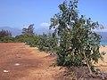 Starr-030525-0024-Nicotiana glauca-habit-Kanaha Beach-Maui (24267146449).jpg