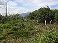 Starr-040121-0011-Schinus terebinthifolius-debris pile-Kanaha Beach-Maui (24670989586).jpg