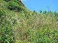 Starr-050419-0399-Melinis repens-habit-Mokolii-Oahu (24450514520).jpg