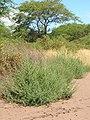Starr-050517-1443-Bassia hyssopifolia-habit-Kakahaia-Molokai (24134773724).jpg