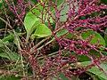 Starr-061108-9607-Charpentiera obovata-flowers-Hoolawa Farms-Maui (24774981521).jpg