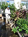 Starr-080103-1448-Cordyline fruticosa-habit with Kim and nursery survey-Lowes Garden Center Kahului-Maui (24272949993).jpg