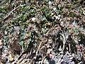 Starr-080531-4833-Euphorbia prostrata-fruiting habit-Bravo barracks Sand Island-Midway Atoll (24543214759).jpg