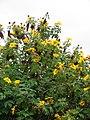 Starr-090519-7990-Tithonia diversifolia-flowers and leaves-Kula-Maui (24328711673).jpg
