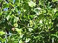 Starr-090714-2696-Pterocarpus indicus-fruit and leaves-Napili-Maui (24943275086).jpg