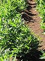 Starr-091020-8381-Solanum muricatum-habit-Kula Experiment Station-Maui (24960167736).jpg