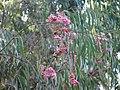 Starr-091115-1129-Eucalyptus sideroxylon-flowers and leaves-Olinda-Maui (24363073693).jpg