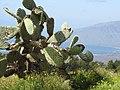 Starr-091211-0460-Opuntia ficus indica-habit-Kaonoulu Ranch Kula-Maui (24696522370).jpg