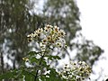 Starr-101130-9602-Montanoa hibiscifolia-flowers-Ulupalakua-Maui (24689600969).jpg