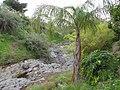 Starr-110307-2730-Syagrus romanzoffiana-habit-Kula Botanical Garden-Maui (24960545372).jpg
