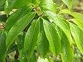 Starr-110330-3591-Litchi chinensis-leaves-Garden of Eden Keanae-Maui (41315075202).jpg