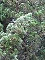 Starr-110331-4530-Juniperus chinensis-cv Torulosa needles-Shibuya Farm Kula-Maui (24451186044).jpg