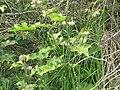 Starr-110502-5272-Solanum torvum-flowers and leaves-Kula-Maui (25094102955).jpg