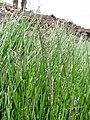 Starr-110515-6549-Poa pratensis-seeding habit in runoff area-Science City-Maui (24727506169).jpg